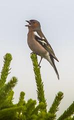 Buchfink (matthias_oberlausitz) Tags: vogel fichte buchfink nochten findlingspark