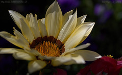 Tattered tops (Ollie_57.. on/off) Tags: uk summer england plant flower macro nature canon petals flora dof bokeh july devon 7d bloom gazania teignmouth 2016 tamronsp90mm ollie57 affinityphoto