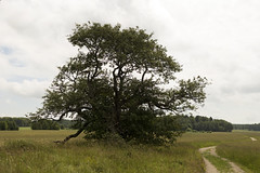 That Old Tree (Steffe) Tags: summer tree sweden path haninge swedishwhitebeam oxel