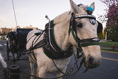 Carriage Tour (Carrie Cole Photography) Tags: travel horse canada tourism bc carriage britishcolumbia sightseeing victoria vancouverisland horsedrawn westcoast iconic victoriacarriagetours carriecole