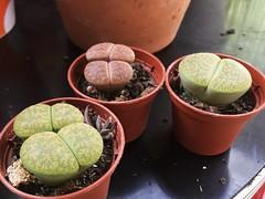 0701 lithops (ingepurl) Tags: plants succulent lithops succulents livingstone lithop livingstones pebbleplant