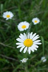 daisies and grass (annburlingham) Tags: daisies thechallengefactory winner unanimous may2017 tcf daisyflowers four yellow white green grass