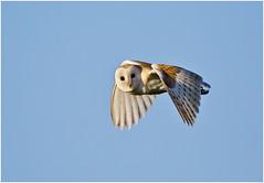 Barn owl ( wild bird ) (Antony Ward) Tags: birdsinflight owls barnowls