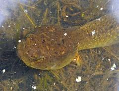 Contestant 1/2 (mudder_bbc) Tags: green animals poughkeepsie frogs amphibians tadpole duckweed bowdoinpark