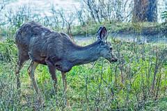 mule deer - banf NP, canada (AB) 5 (Russell Scott Images) Tags: canada mountains rocky ab canadian alberta banff banffnationalpark muledeerodocoileushemionus