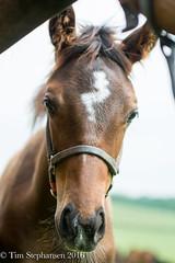 DSC_7725 (nickelcreek06) Tags: nikon kentucky sigma thoroughbred foal sigmalens d7100 ramseyfarm