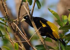 Xexu / Yellow-rumped Cacique (anacm.silva) Tags: wild brazil naturaleza bird nature birds brasil wildlife natureza aves ave pantanal yellowrumpedcacique cacicuscela xexu