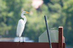GUEJ_2016-06-24_10-20-24 (jsguenette) Tags: bird wildlife birding ornithology birdwatching oiseau greategret faune ornithologie grandeaigrette