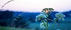 Sonne getarnt (petra.foto on/off) Tags: sonnenuntergang sonne sun schleswigholstein giersch blte nature fotopetra canon 5dmarkiii