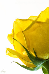 Yellow Rose (Quincey Deters) Tags: stilllife canada flower june rose yellow vertical closeup flora whitebackground allrightsreserved 2016 colourimage quinceydeters