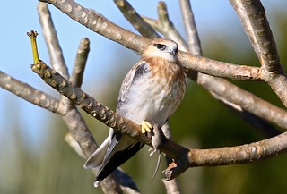 Young Black-shouldered Kite, sitting with its little friend
