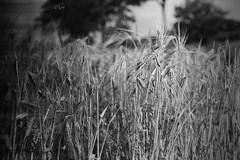 2016 Weizen (jeho75) Tags: leica iiif leitz summicron 50mm deutschland germany weizen sommer schwarz weiss black white