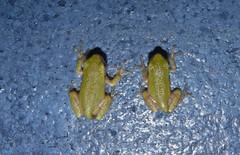 The Frog Hatchery 4 (DarkOnus) Tags: macro texture pool closeup swimming lumix pennsylvania gray cement frog panasonic textures tadpoles monday 2d eastern treefrog buckscounty tadpole mondays hatchery flickrphotowalk macrotextures macromondays dmcfz35 darkonus thefroghatchery