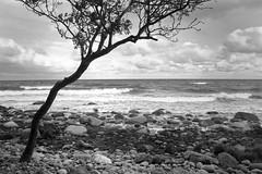 (derkleinebiber) Tags: sea seascape tree beach strand canon landscape eos coast blackwhite rocks meer waves balticsea lone rgen landschaft ostsee minimalist lohme steinstrand steinig