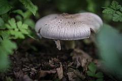 Mushroom (pesom) Tags: white green nature mushroom outdoor sony grn pilz weis mirrorless a6000 sel35f18
