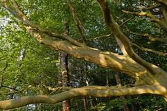 Buche am Fischteich - 2016 - 0003_Web (berni.radke) Tags: tree giant baum beech buche colossus riese fischteich dlmen hausdlmen