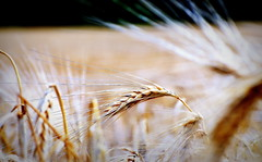 _standing ovation (SpitMcGee) Tags: wheatfield hre weizenfeld spitmcgee