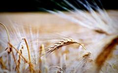 _standing ovation (SpitMcGee) Tags: wheatfield hre weizenfeld spitmcgee