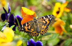 Painted Lady (Nick.Richards) Tags: flowers summer nature butterfly garden insect fly wings nikon dof pansy butterflies nickrichards colourful delicate pansies paintedlady lightroom nikon1685 nikond7100