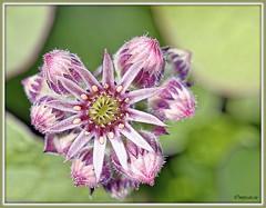 _JVA7554_DxO (mrjean.eu) Tags: park pink flowers blue france flower macro green fleur rose yellow fleurs jaune garden nikon jardin vert bleu botanic lorraine botanique parc metz 105mmf28