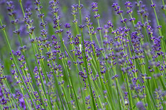 Lavender (Vanili11) Tags: natural lavender garden fragrant perfume plant violet sunset purple provence aroma flower beautiful blooming blue background field aromatherapy countryside macro france lavendin lavander landscape gardening lavende lavand french outdoor sun sunlight sunrise sunshine sky relaxing oil flora relaxation nature bloom herbal lavenderplant light floral colors beauty closeup colorful summer alpes color cote dramatic bush bunch blossom botanical botany evening 52weeks2016