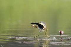 Bronze-winged Jacana (female) (nomane172) Tags: bronzewingedjacana jacana bird animal outdoor wildlifephotography naturephotography birdsofbangladesh gazipur bangladesh nikon d750 tamron 150600mm ngc waterbird wildlife nature