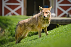 Beautiful Coyote (Bob Haarmans) Tags: coyote ranch illinois big wolf run lockport wolfparkbig park2013greywolf