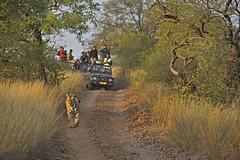 ADS_000006798 (dickysingh) Tags: travel wild india color nature horizontal jeep wildlife tiger tourists safari bigcat gypsy rajasthan ranthambore gameviewing ranthambhorenationalpark wwwranthambhorecom