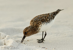 Pretty Shorebird (Rick Smotherman) Tags: ocean beach gulfofmexico nature water birds canon outdoors morninglight spring sand feeding 7d shorebird canon300mmf4l canon7d