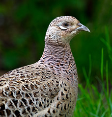 Hen Pheasant portrait shot (Linz27) Tags: bird nature pheasant hen northyorkshire 300mmf4 d7100