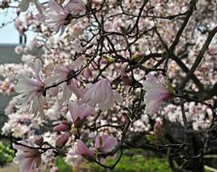 Magnolia flowers (sjb5) Tags: flowers gardens pittsburgh pennsylvania magnolia botanicalgardens magnoliatree phippsconservatory outdoorgarden