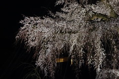 (Richard, enjoy my life!) Tags: park flower japan night kyoto sony   sakura   dscrx100