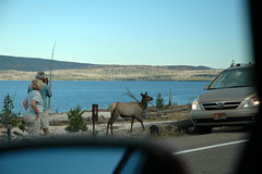 221 - Elk by the road (Scott Shetrone) Tags: animals scenery events lakes places yellowstonenationalpark elk mammals 7th anniversaries wymoing