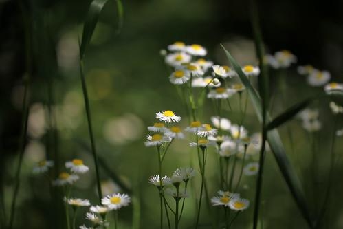 quiet daisy 語らい