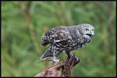 Barking Owl 1 (RoosterMan64) Tags: tarongazoo barkingowl
