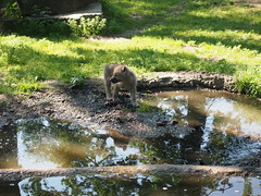 Baby Wolf in Berlin Zoo (jennygriffiths1) Tags: baby berlin zoo wolf