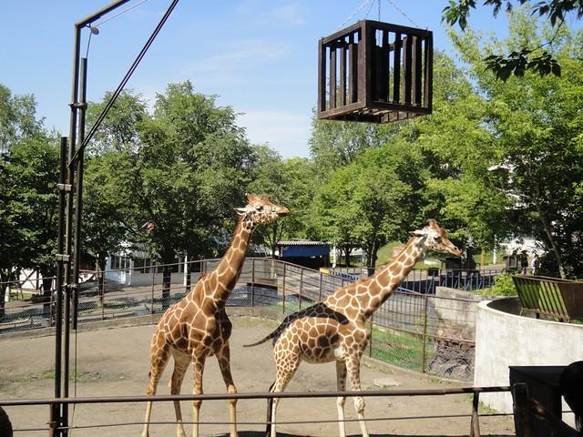 旭山動物園のキリンのエサやり|旭川市旭山動物園
