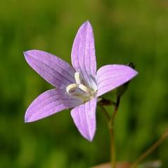 (veronika118) Tags: macro lila termszet virg