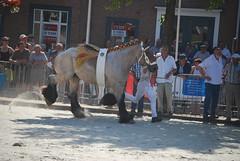 trekpaardkeuring ijzendijke 21072013 3756 (jo_koneko_san) Tags: horses horse holland netherlands cheval nederland zeeland chevaux paard hollande zeeuwsvlaanderen 2013 ijzendijke parden trekpaard zeeuwstrekpaard trekparden