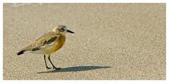 NZ Dotterel (Bernzfotos - Bernard Golder Photography) Tags: ocean sea newzealand beach water clouds bay seaside nikon pacificocean nz waikato northisland nikkor plover coromandel d300 whitianga dotterel nouvellezlande nzdotterel nikond300 nikkorvr70200mmf28 bernzfotos