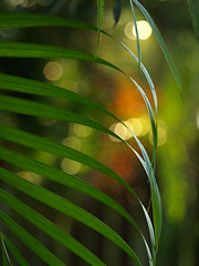 Between the lines (Shelby's Trail) Tags: wood morning fence bokeh palm frond mybackyard eightdaysaweek hbw sooc twtme bokehwednesday mortalmuseseverydaybeauty