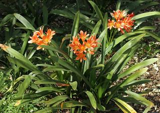 Clivia miniata - Walter Sisulu Botanical Gardens, Johannesburg