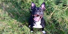 SMILE (EmilyRedivo_phoDOGraphy) Tags: jump feld wiese pitbull hund schwarz amstaff steinmauer