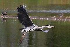 Heron taking off at Cossington Meadows LRWT (sdflickr2) Tags: heron grey flight meadows cossington