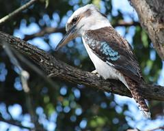 Kookaburra - Dacelo novaeguineae (Jenny Thynne) Tags: bird wildlife australia brisbane queensland kookaburra kooka dacelonovaeguineae laughingkookaburra