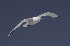 ASK_3013 (askyog) Tags: bird inflight seagull gull gulls bluesky
