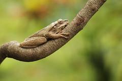 Common Treefrog (Daniel Trim) Tags: sleeping tree nature animals photography wildlife amphibian frog common lombok treefrog sengiggi commontreefrog