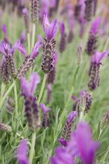 Lavandula stoechas 'Anouk' (NativeSonsNursery) Tags: flower purple violet lavender evergreen bloom shrub anouk perennial frenchlavender lamiaceae spanishlavender lavandula stoechas mg00109