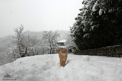 Brad Pitt, Skiing Conditions Supervisor ❄ ✱ ❄ (Xena*best friend*) Tags: wood wild italy pet cats pets snow cold cute animals fur photography frozen chats furry woods feline flickr shots tiger freezing kitty kittens whiskers piemonte gato calico purr meow paws bp miao snowfall bradpitt gatto katzen pussycat markings miau feral wildanimals ©allrightsreserved laurusnobilis alleycatallies piedmontitaly canonef70300mm canoneos500d eosrebelt1i