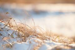 Sn och grs (fotografanders) Tags: snow grass bokeh grs